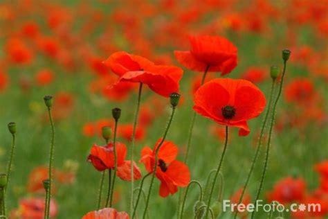 poppies pictures   image     freefotocom