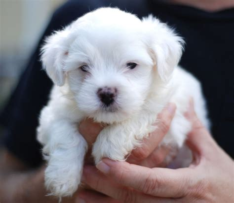 cute dogs maltese dogs