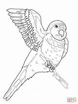 Parrot Coloring Quaker Pages Drawing Flying Puerto Parrots Rico Printable Animal Supercoloring Colouring Bird Rican Adult sketch template