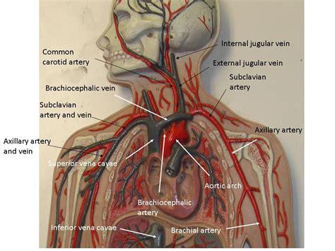 Heart and blood vessel labeling. Vascular System Models - Arteries, Veins, Blood Cells ...