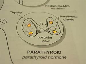 Anatomy And Physiology 2 Eportfolio  The Endocrine System