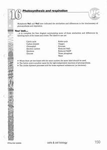 Worksheet  Photosynthesis Diagrams Worksheet Answers