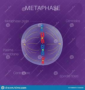 Prophase Cartoons  Illustrations  U0026 Vector Stock Images