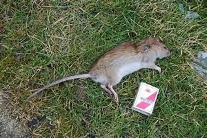 Wie Vertreibt Man Ratten : kraut r ben forum ratte oder maus ~ Eleganceandgraceweddings.com Haus und Dekorationen