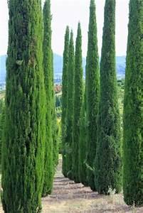 Leyland Zypresse Kaufen : zimmer kunstpflanzen und andere wohnaccessoires von exoticsamen samenrarit ten aus aller welt ~ Frokenaadalensverden.com Haus und Dekorationen