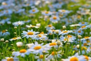 Blumen Im Sommer : download hintergrund blumen sommer lichtung kamille freie desktop tapeten in der auflosung ~ Whattoseeinmadrid.com Haus und Dekorationen