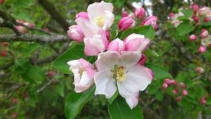 Free Photo  Apple Blossom  Spring  Apple Tree