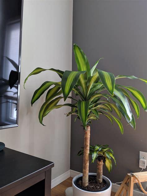 houseplants    corn plants leaves turning