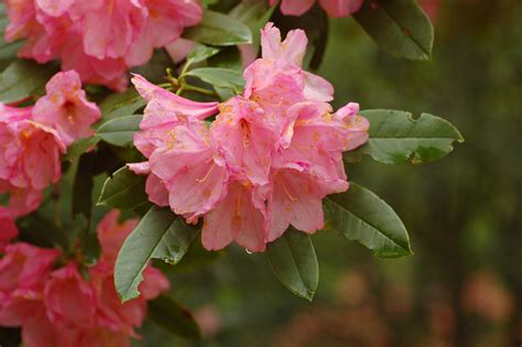 rhododendrons flower image gallery rhododendron flower