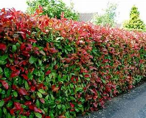 Photinia Red Robin : photinia fras red robin 40 60 arboretum garden centre ltd ~ Michelbontemps.com Haus und Dekorationen