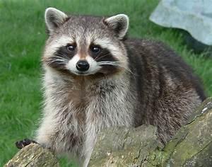 Raccoon State Wild Animal | State Symbols USA