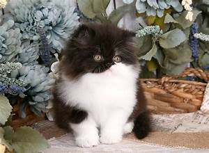 Black and White Persian Kitten Photo Gallery| Black and ...