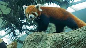 Panda.Endangered Red Panda Walking around fast at River ...