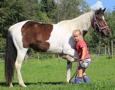 lebhafte talentierte norikerstute zu verkaufen pferde