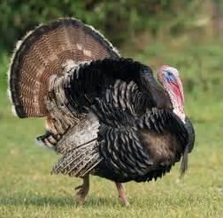 our raising a thanksgiving turkey part one