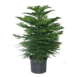 christmas trees in kolkata xmas trees dealers suppliers
