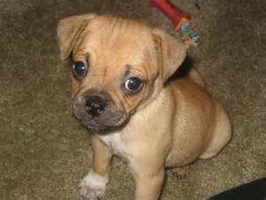 may dog quot breed quot of the month puggle topic