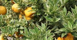 Zitruspflanzen Gelbe Blätter : zitrone pflanzen pflege und tipps mein sch ner garten ~ Orissabook.com Haus und Dekorationen