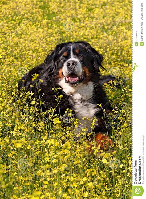 bernese mountain dog portrait  flowers scenery