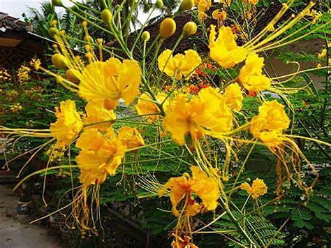 kembang merak caesalpinia pulcherrima uly christina