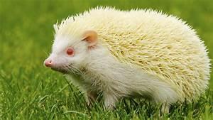 Bilder Von Igel : albino igel sind wei e igel gef hrdet ~ Orissabook.com Haus und Dekorationen