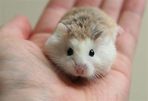 roborovski hamster dwarf hamsters