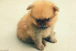 Baby Pomeranians