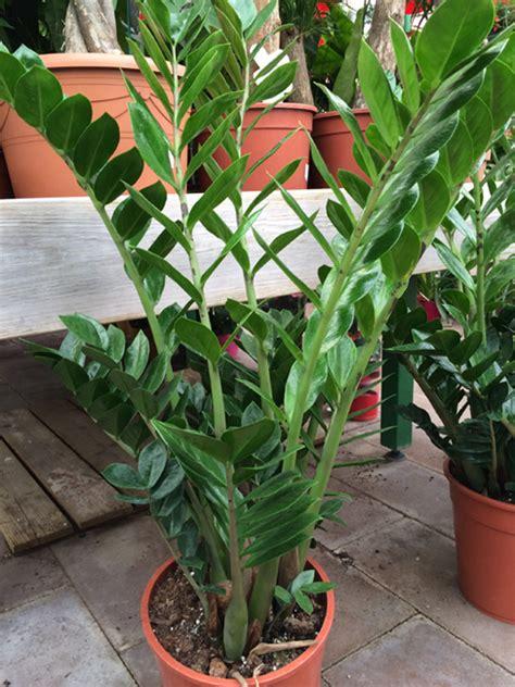 zamioculcas zamioculcas zamiifolia arrosage entretien rempotage