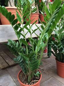 Grande Plante D Intérieur Facile D Entretien : zamioculcas zamioculcas zamiifolia arrosage entretien ~ Premium-room.com Idées de Décoration