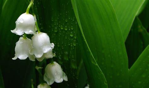 maigloeckchen heilpflanzenwissen heilpflanzenwissen