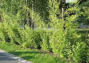 Schnellwachsende Hecke Als Sichtschutz : mattenzaun mit bambushecke ~ Markanthonyermac.com Haus und Dekorationen