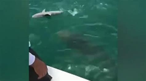 grouper shark goliath 500 pound eats vs
