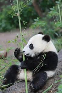 Panda Cute Baby Animals