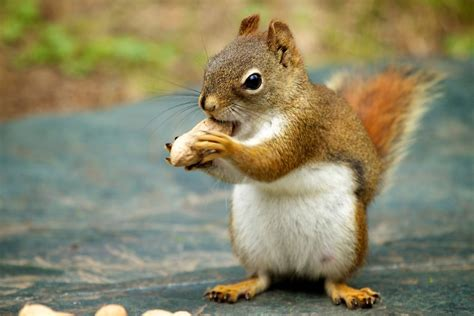 what do animals squirrel away for winter wonderopolis