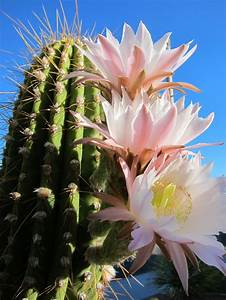 Saguaro Cactus Flower | Fo real ink. | Pinterest