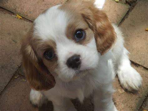 small dogs that do not shed small breeds that don t shed popular dogs that don t