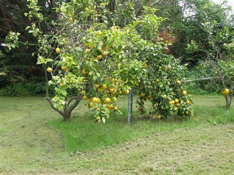 taille et taille du citronnier 28 images citronnier des 4 saisons culture taille et rusticit