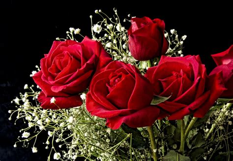 Amazing Red Roses  Download Hd Wallpapers