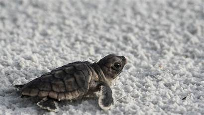 Turtle Sea Turtles Wallpapers Backgrounds Laptop Background