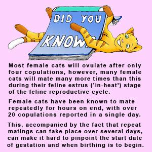 what is the gestation period for cats the cat gestation period how are cats for
