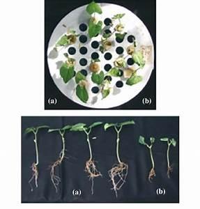 Kidney Bean Plant Diagram