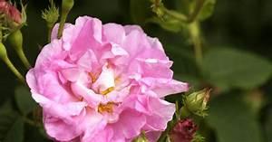 Rose Mein Schöner Garten : alte rose 39 am lia 39 rosa x alba am lia informationen ~ Lizthompson.info Haus und Dekorationen