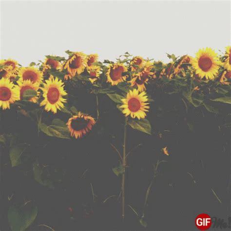 sunflowers gifs tenor