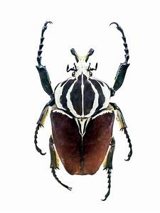 The Significance Of The Egyptian Scarab Beetle Through The