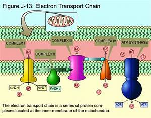 Electron Transport And Chemiosmosis