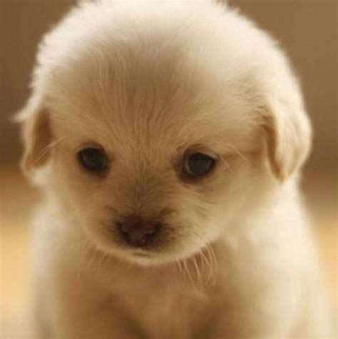 Baby Golden Retriever Baby Golden Retrievers Pinterest
