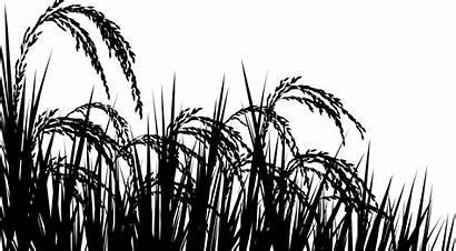 Rice Caucasus North Field Threatened Orders Poisoned