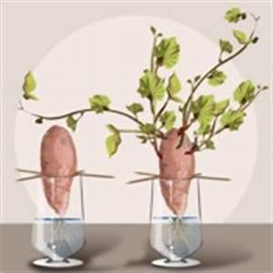 Comment Faire Pousser Des Avocats : comment cultiver une patate douce ~ Melissatoandfro.com Idées de Décoration