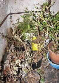 Hortensien überwintern Im Keller : berwinterung von k belpflanzen im keller 01 fuchsien ~ Lizthompson.info Haus und Dekorationen