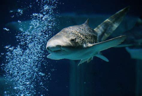 zebra shark foto di sea aquarium carlsbad tripadvisor